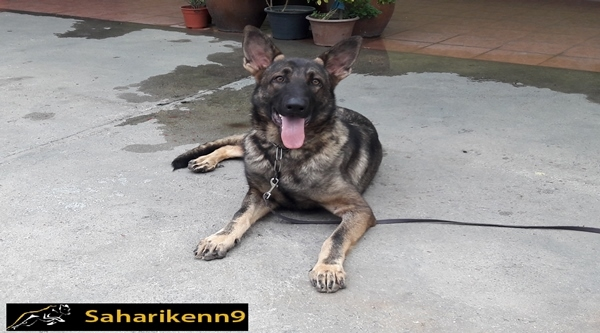 8 months old Male Working line German Shepherd