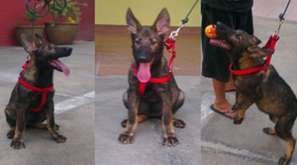 Working Line Male German Sheperd Dog