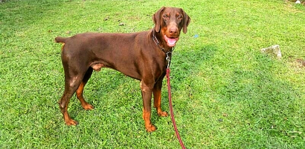 TRAINED DOBERMAN - Red Doberman male