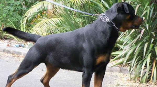 Impressive Young Rottweiler Female