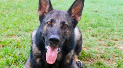 Excellent Working Line Female GSD