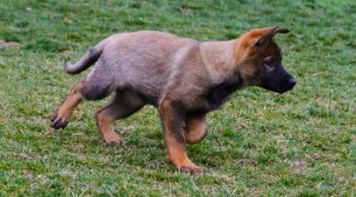 German Shepherd Puppy Working Line