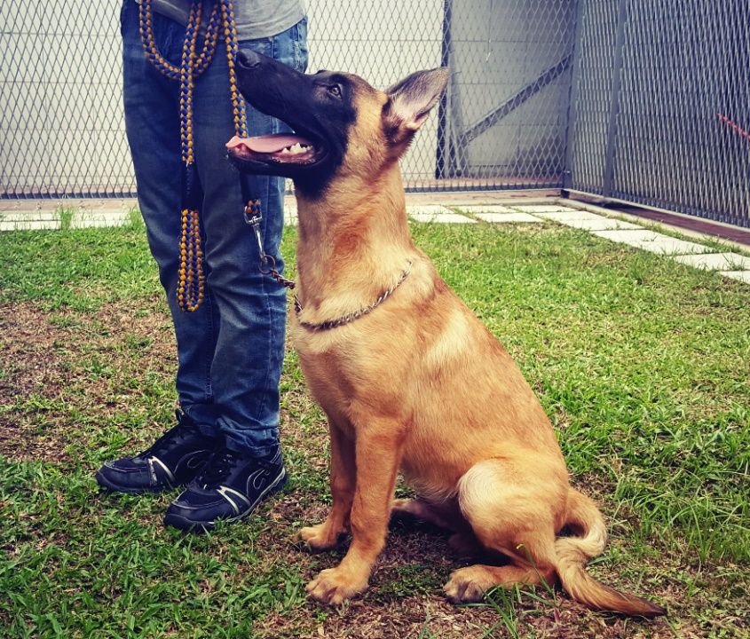 Buy Belgian Malinois Puppy For Sale In Germany