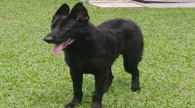 Female Black Young Working Line German Shepherd