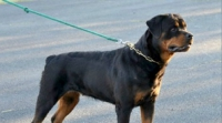 Trained Young Rottweiler Female