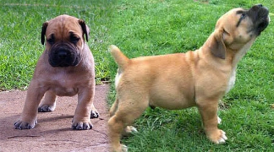 South African Boerboel Puppy