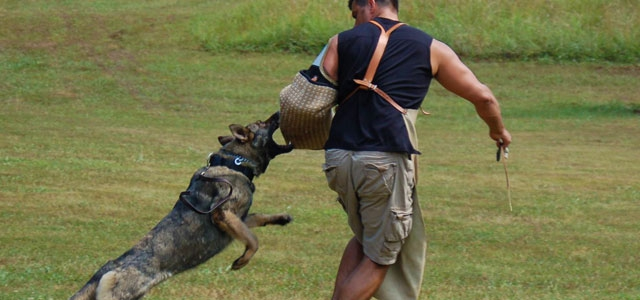 Understanding Trained Protection Dogs