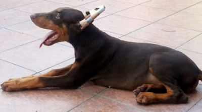 Red & Rust Doberman Puppy